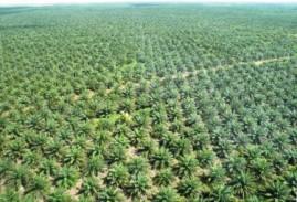 L'olivo e l'olio di palma: le due facce del mondo