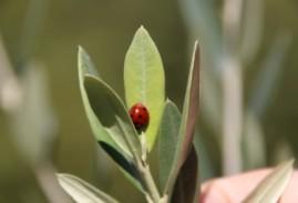 Olive Day, Olio Extra Vergine di Oliva per Sempre