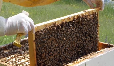 Varroa Destructor, il peggior nemico dell'ape italiana
